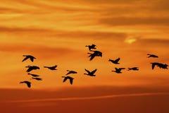 Canada Geese (Branta canadensis) Migrating Stock Photo