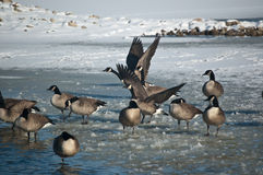 Canada Geese (Branta Canadensis) On An Icy Pond.