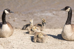 Canada Geese Branta Canadensis Parents Watching Goslings royalty free stock photo