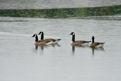 Canada geese (Branta canadensis) Royalty Free Stock Image