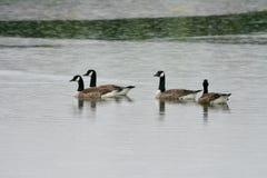 Canada geese (Branta canadensis) Royalty Free Stock Image