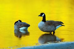 Canada goose Branta canadensis. Canada geese Branta canadensis at sunset in Harrison Lake, British Columbia, Canada stock photos