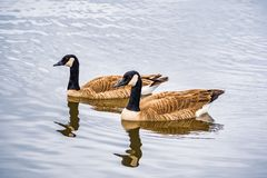 Canada geese Branta canadensis swimming in a lake, Mountain View, San Francisco bay area, California royalty free stock image