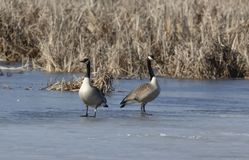 Canada geese Branta canadensis walking. Canada geese Branta canadensis standing on a frozen   near their nesting area royalty free stock photography