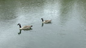 Canada Geese stock video footage