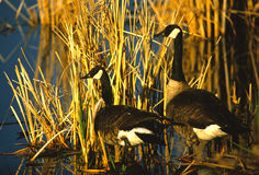 Canada Geese in Cattails. A pair of canada geese standing next to some cattails Stock Images