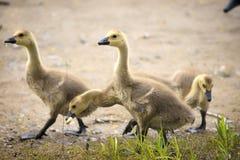 Canada geese chicks feeding Stock Photo