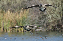 Canada Geese Coming in for a Landing on the Water Stock Photos