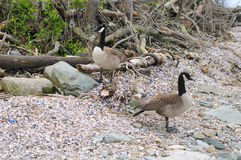 Canada Geese on Connecticut Beach Stock Images