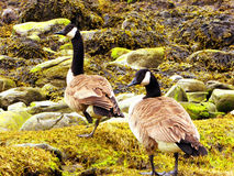 Canada Geese on Connecticut Silver Beach Royalty Free Stock Image