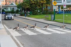 Canada geese crossing a road on a zebra crossing Royalty Free Stock Photography