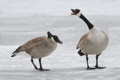 Canada Geese Defending Territory Royalty Free Stock Photo