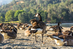 Canada Geese, Del Valle Lake, California. A lot of Canada geese on the beach of Del Valle Lake, California Stock Image