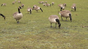 Canada geese eating grass