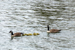 Canada Geese escorting goslings Royalty Free Stock Image