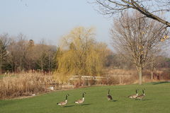 Canada Geese on a Fall Day. Stock Images
