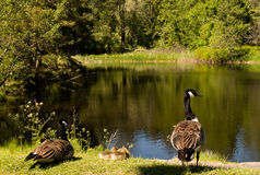 Canada geese family. A family of canada geese by a small pond Stock Photography