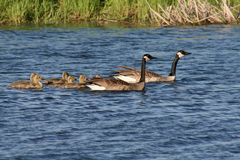 Canada Geese Family. A family of Canada geese swimming in the Warroad Point Park area of Minnesota Royalty Free Stock Image