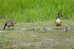 Canada geese family Royalty Free Stock Image