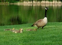 Canada geese family Stock Photo