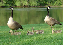 Canada geese family Stock Photos