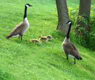 Canada geese family Stock Image