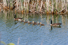 Canada Geese Family Royalty Free Stock Photos