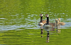 Canada Geese family close-up swimming. Reflections of Canada Geese on green water Stock Photo
