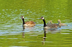 Canada Geese family close-up swimming. Reflections of Canada Geese on green water Royalty Free Stock Image