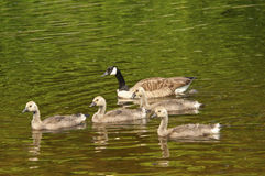 Canada Geese family close-up swimming. Reflections of Canada Geese on green water Stock Images