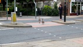 Canada Geese family crossing the road stock video footage
