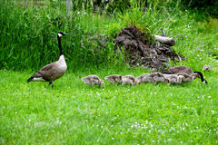 Canada Geese family feeding in green grass. Royalty Free Stock Image