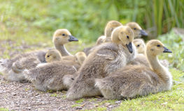 Canada geese family, hertfordshire, england Stock Images