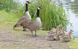 Canada geese family, hertfordshire, england Royalty Free Stock Photos