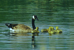 Canada Geese Family On A Pond Stock Images