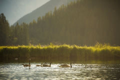 Canada Geese Family Stock Images