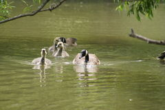 Canada Geese family swimming. Royalty Free Stock Photo