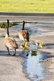 Canada Geese Family Walking through a Parking Lot Royalty Free Stock Photos