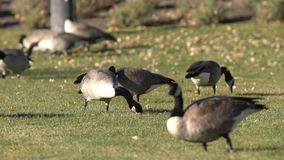 Canada Geese Feeding on lawn stock video