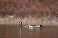 Canada geese feeding Royalty Free Stock Photos