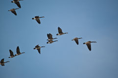 Canada Geese in Flight. A flock of Canada Geese flies in V-formation Stock Images