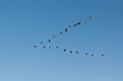 Canada Geese in Flight. A flock of Canada Geese (Branta canadensis) flies in V-formation Stock Photo