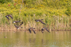 Canada Geese in Flight Royalty Free Stock Photos