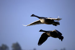 Canada Geese in Flight. A pair fo Canada Geese flying in a clear sky Stock Images