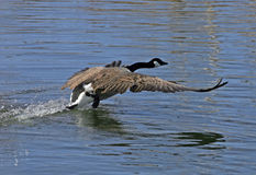 Canada geese in flight. Taken at fielding park Royalty Free Stock Photos
