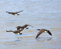 Canada geese in flight Royalty Free Stock Images