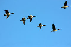 Canada Geese in flight, North America. Flock of Canada Geese flying in formation. Photographed towards onset of winter, in bright sunlight and clear skies. The stock images
