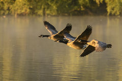Canada Geese in flight over misty lagoon waters Royalty Free Stock Photography