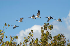Canada Geese In Flight Over Trees Stock Image