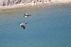 Canada Geese in Flight Viewed From Above Stock Photos